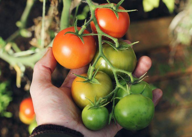 czy uprawa własnych pomidorów ma sens